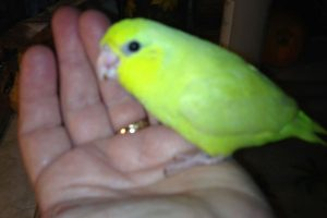 American Yellow Parrotlet3