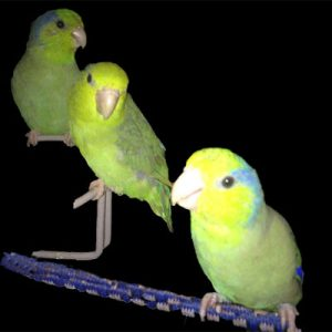green Parrotlets_slide4