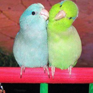 parrotlets pair_slide3
