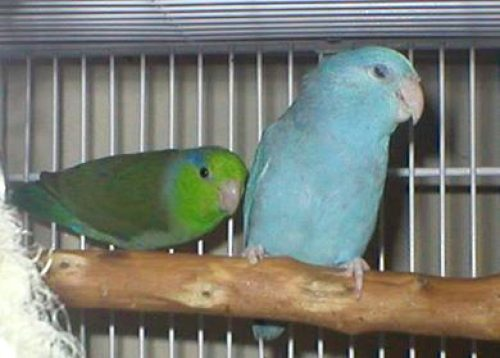 Parrotlet pair green and blue